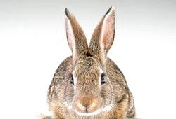 Англійські вірші про тварин. Кролик фото
