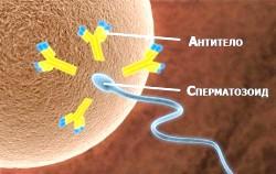 Антиспермальні антитіла фото
