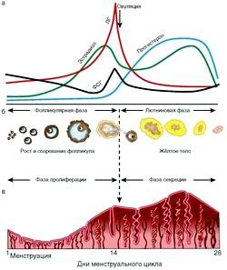 Менструальний цикл: що відбувається з циклом?