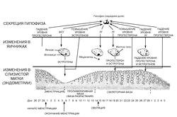Менструальний цикл: фази циклу
