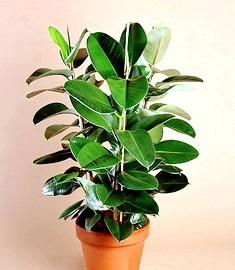 Невибагливі домашні рослини