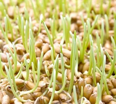 пророщена пшениця