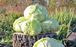 Савойська капуста. Вітаміни і користь