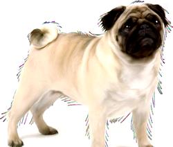 Собаки породи Мопс. Коротка характеристика
