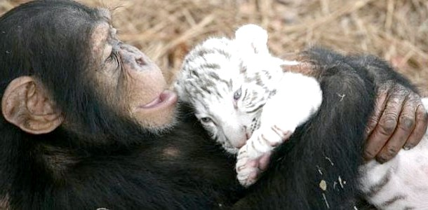 Дивовижна мама: шимпанзе виходжує тигренят (ФОТО) фото