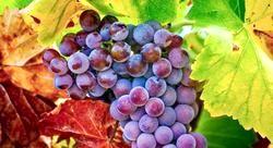 Виноград. Цілющі властивості