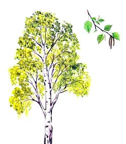 Загадки про дерева. Береза