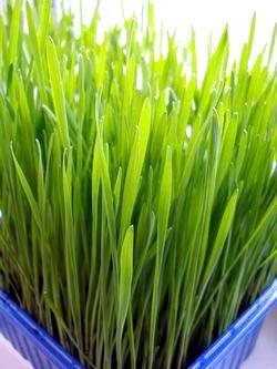 «Живі» рецепти: зелені вітамінні соки і коктейлі фото