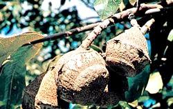 Горіхи. Бразильський горіх