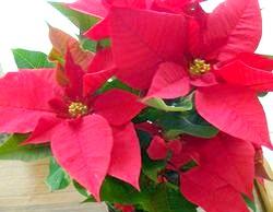 Особливості вирощування «різдвяної зірки» пуансетії фото