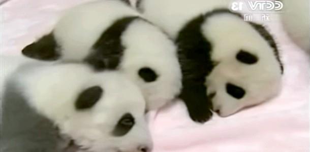 Панда народила дев'ятьох малюків (відео)