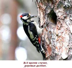 Загадки про птахів. Дятел фото