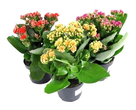 Що нам відомо про тропічному рослині каланхое?