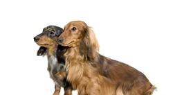 Найпопулярніші квартирні собачки