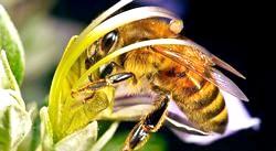 Вірші англійською мовою про комах. Бджола. Poems about bees