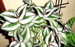 Традесканція - невибагливий рослина для дому