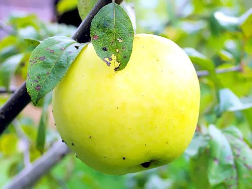 Яблуко фото