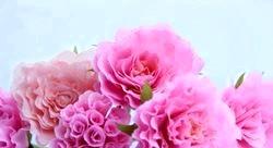 Квіти з гофровані паперу. Троянди. Майстер клас з покроковий фото